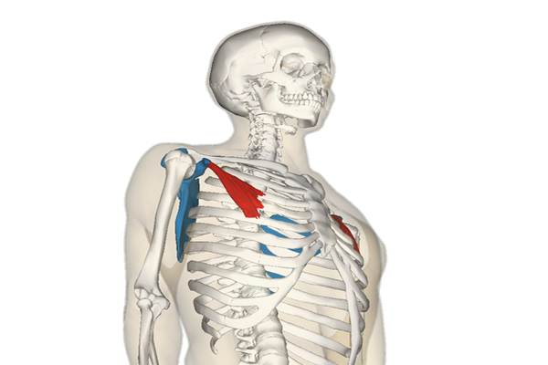 https://commons.wikimedia.org/wiki/File:Pectoralis_minor_muscle_and_shoulder_blade.png#/media/File:Pectoralis_minor_muscle_and_shoulder_blade.png